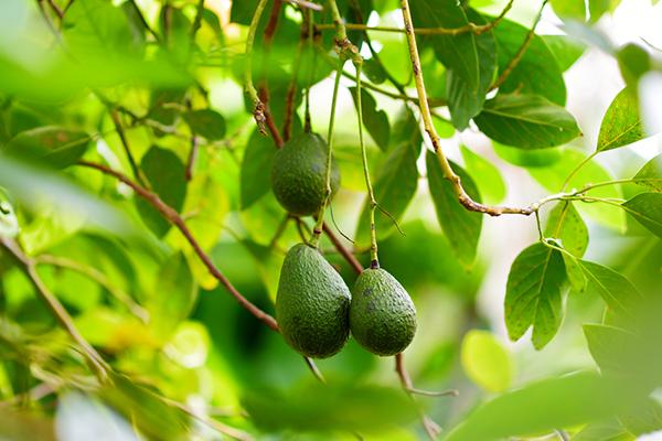 アボカドを観葉植物として育てたい!水耕栽培や鉢植えの方法とは?